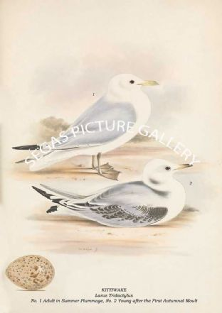 KITTIWAKE - Larus Tridactylus, No. 1 Adult in Summer Plummage, No. 2 Young First Autumnal Moult